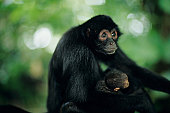 Spider monkey (Ateles paniscus) holding young, close-up