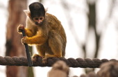 A spider monkey holds onto a pen after stealing it from a zookeeper during the annual stocktake at London Zoo north London on January 4 2011 With...
