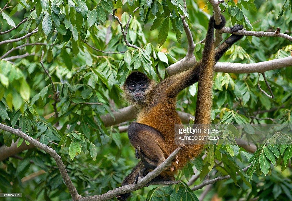 A Spider Monkey is seen in a tree at Monkey Island near Cocibolca Lake in Granada Nicaragua on August 5 2009 AFP PHOTO/Alfredo Estrella