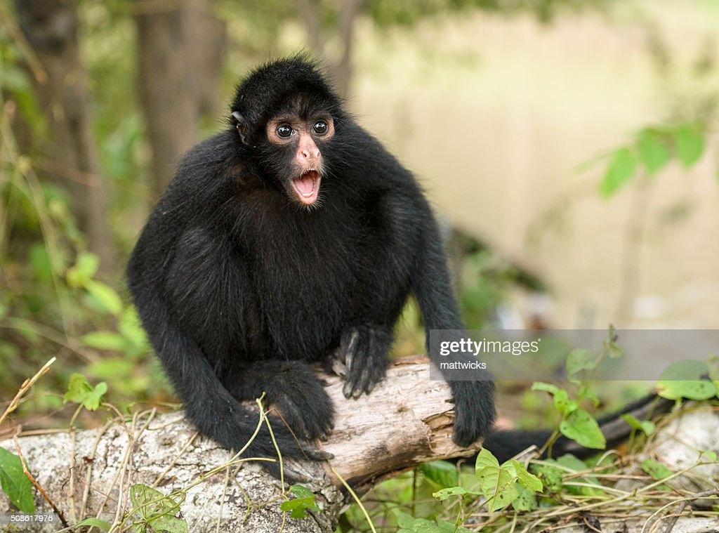 Spider monkey makes a surprised expression. : Stock Photo