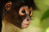 Spider Monkey Portrait