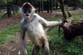 Spider Monkey's settle into their new enclosure at Hamilton Zoo Sunday The new enclosure will give the Monkey's more freedom with lots of trees and a...