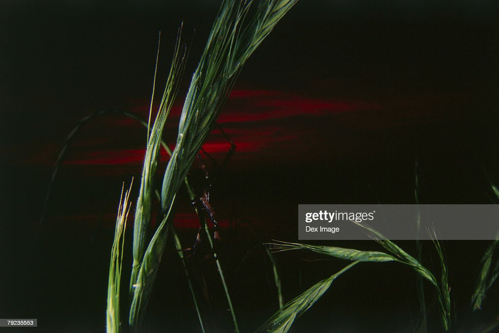 Spider on grass stalk at night, close up : Stock Photo