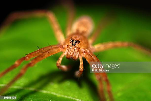 Spider on leaf, frontal view