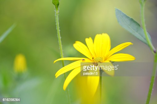 Spider on sunchoke flower : Foto de stock