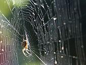 Spider (Araneus diadematus) on the web in the sunshine. England countryside, Surrey, Dorking.