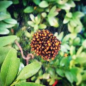 Spider On Web By Plants