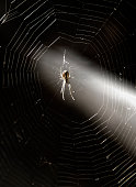 Spider on cobweb crossed by a beam of light