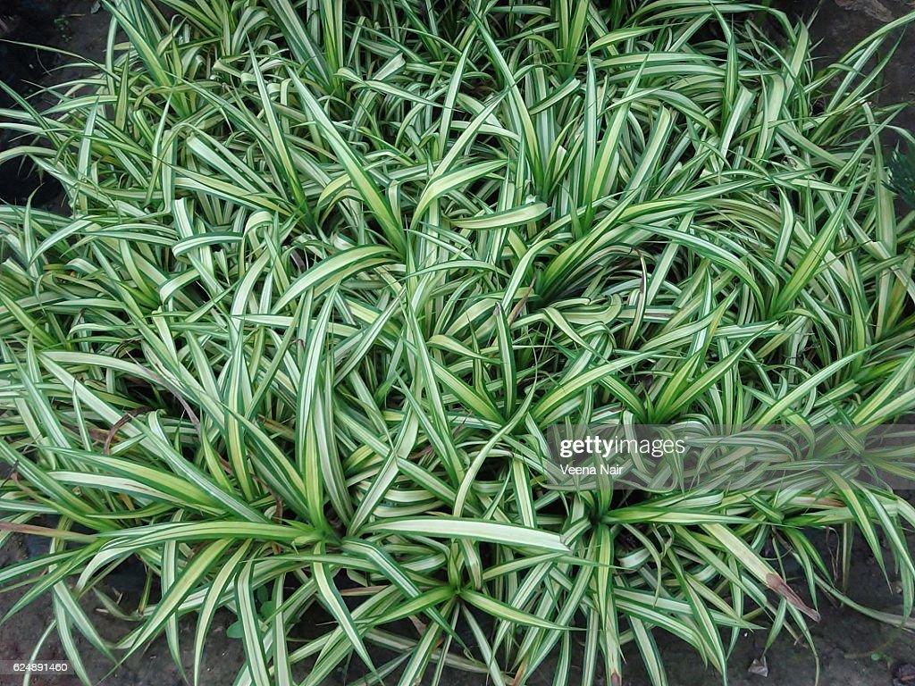 spider plants images