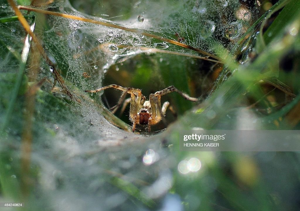 A spider sits in its net covered in dewdrops and waits for a victim on August 27, 2014 in Cologne, western Germany.
