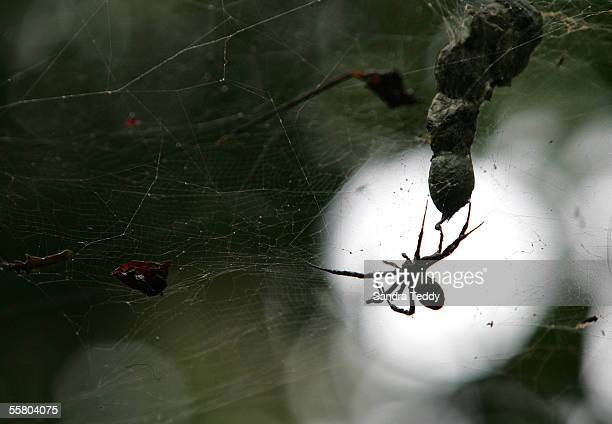 A spider sits in its web amongst the forest in Niue October 29 2004