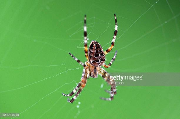 A spider sits in the centre of its web in a garden in Karlsruhe Germany on September 21 2013 AFP PHOTO / DPA / ULI DECK /GERMANY OUT