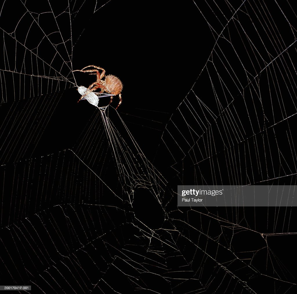 Spider spinning cocoon : Stock Photo