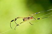 Spider spinning web, close-up