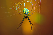 A green spider spinning a web.