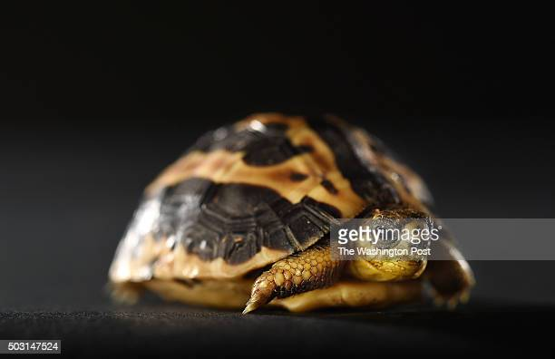 A spider tortoise is photographed at the Smithsonian National Zoological Park on Thursday November 19 2015 in Washington DC This series features...