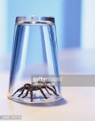 Spider Under Drinking Glass