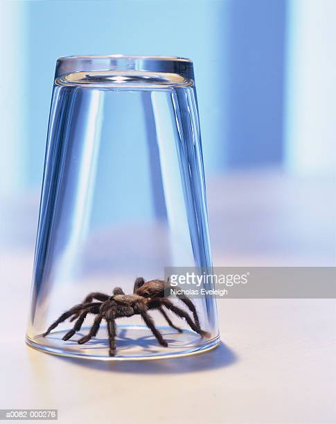 Spider Under Drinking Glass