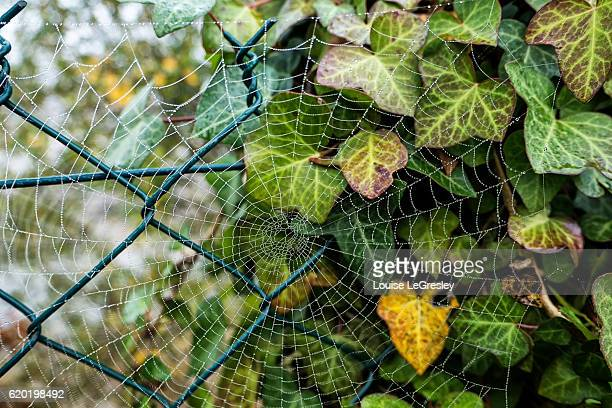 Spider web against a blue barb wired fence and ivy plant