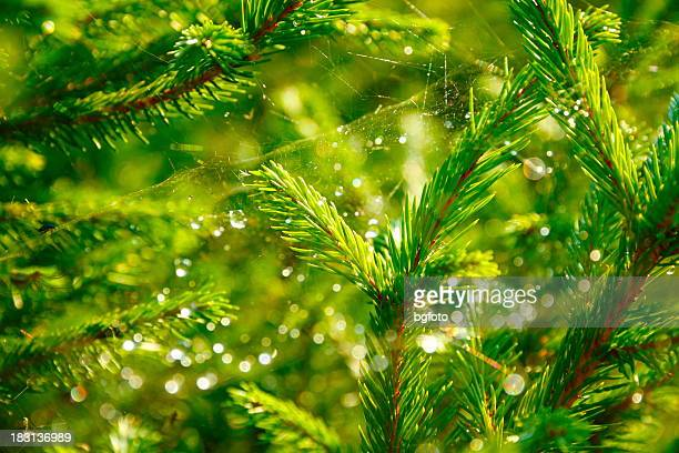 Spider web and light flares on the branches of a pine tree