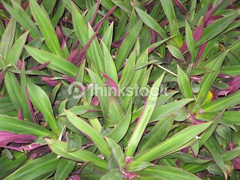 Spider Wort Growing In Florida Stock Photo - Thinkstock