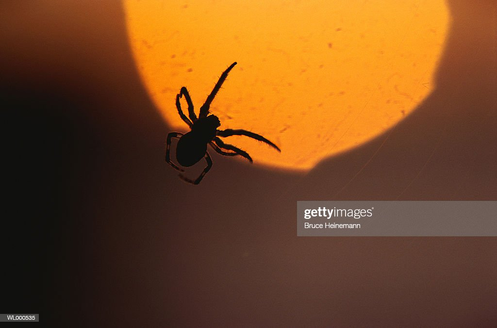 Spider's Silhouette : Stock Photo