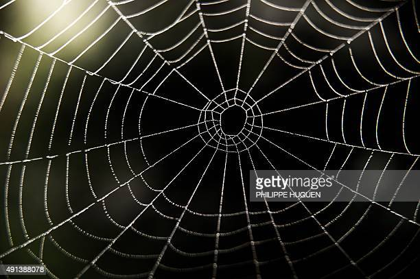 A spider's web is pictured on October 4 2015 in Godewaersvelde Northern France AFP PHOTO / PHILIPPE HUGUEN