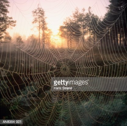 Spider's web with dew drops at sunrise, Sweden