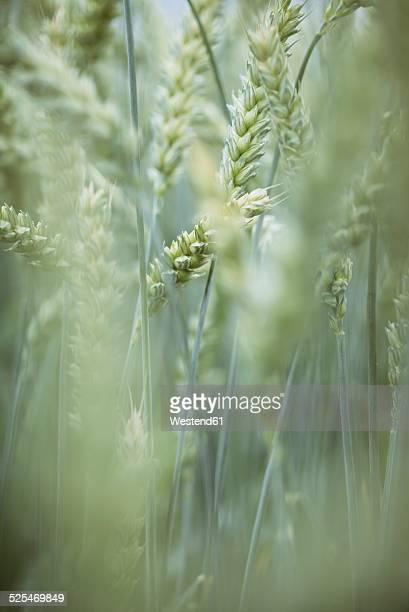 Spikes of wheat, Triticum aestivum
