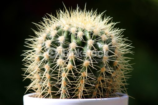 Spiky green cactus plant in white flower pot stock photo thinkstock spiky green cactus plant in white flower pot house plant stock photo mightylinksfo