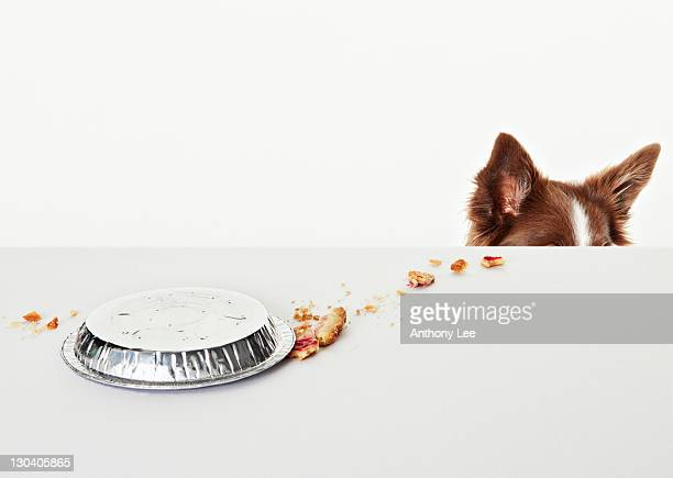 Spilled pie pan on table beside dog