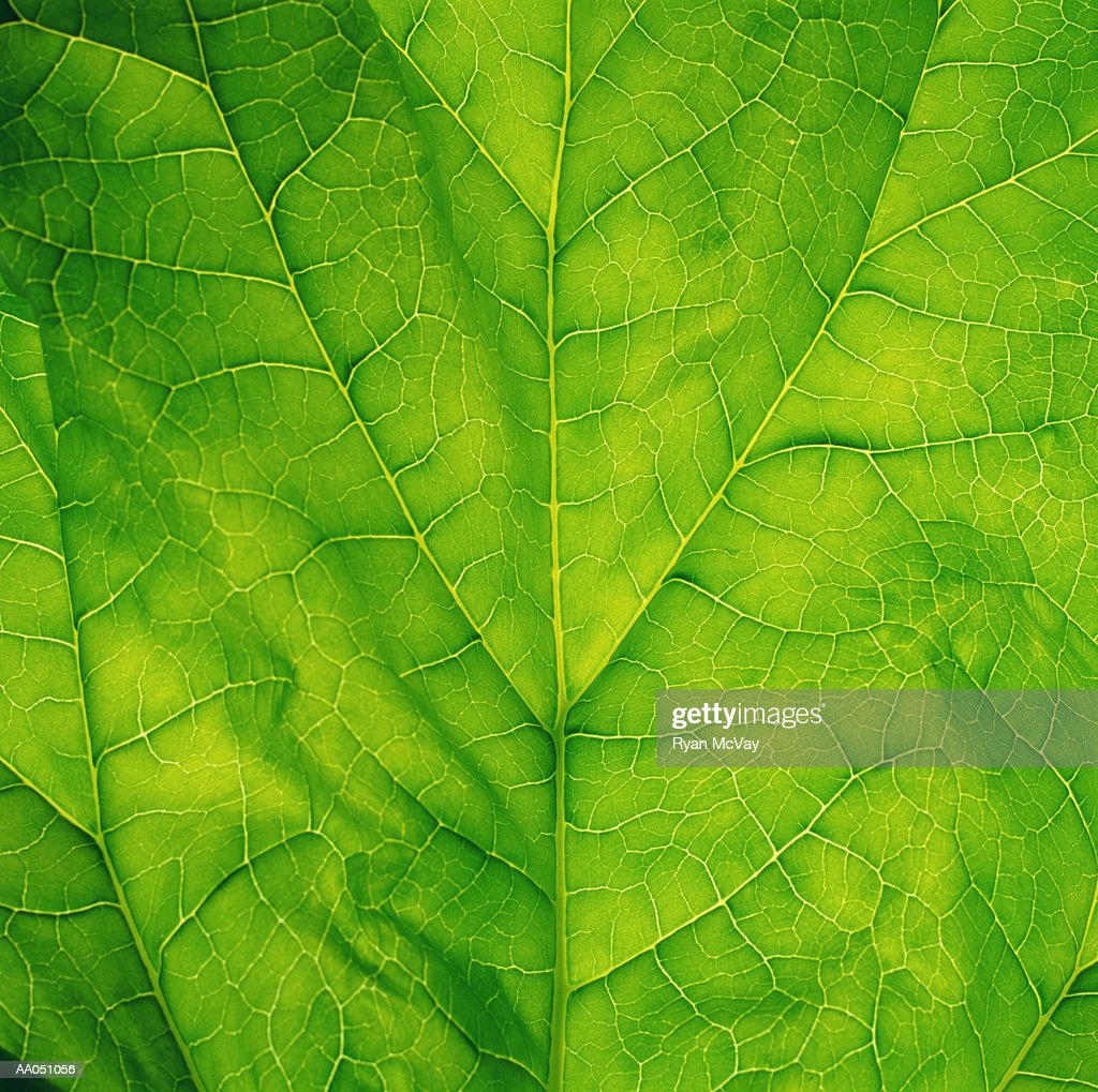 Spinach leaf, detail : Stock Photo