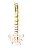 Spine anatomy model isolated