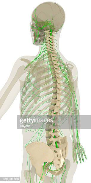Colonne vertébrale et le système nerveux