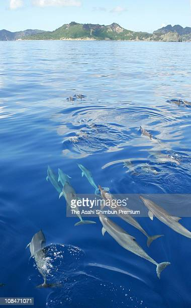 Spinner Dolphin are seen swimming in a group on June 19 2006 in Ogasawara Tokyo Japan