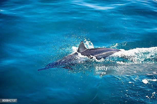 Stenella dal lungo rostro nuotare nell'oceano Pacifico