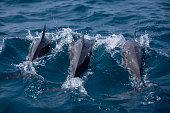 Spinner dolphins Sri Lanka, spinning and winning