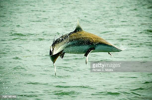 Spinner shark jumps out of the water during a Florida Keys fishing trip on May 2005 in Islamorada Florida