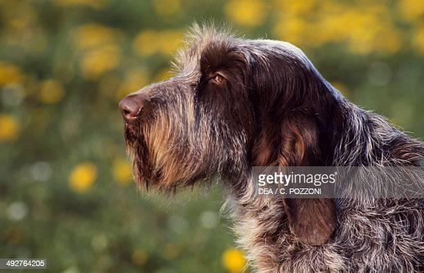Spinone Italiano Canidae