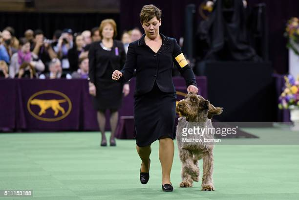 A Spinone Italiano competes in the Sporting Group during the second day of competition at the 140th Annual Westminster Kennel Club Dog Show at...