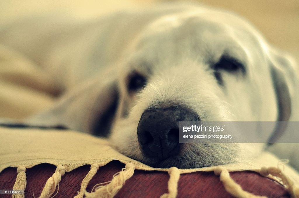 Spinone Italiano dog : Stock Photo