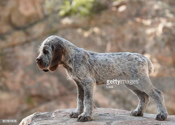 Spinone Italiano (Italian Griffon) On Rock
