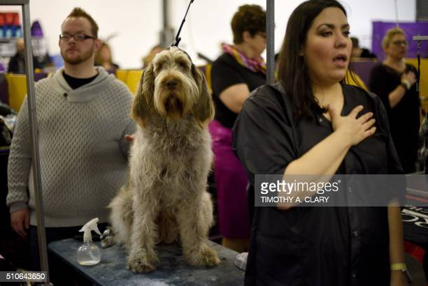 A Spinone Italiano watches as his handler says the National Anthem in the benching area February 16 2016 in New York during Day Two of competition at...