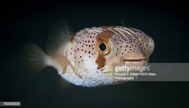 Spiny balloonfish - Diodon holocanthus