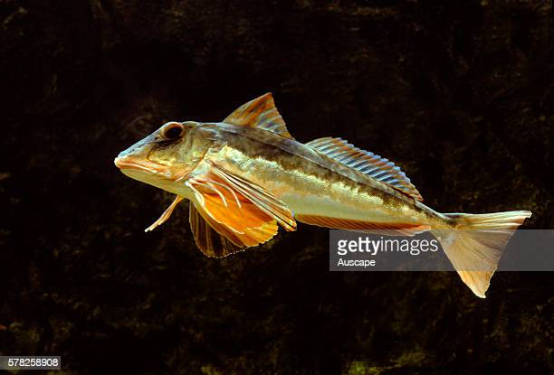 Spiny red gurnard Chelidonichthys spinosus a searobin commercial species Native to Northwest Pacific frm Hokkaido Japan to the South China Sea