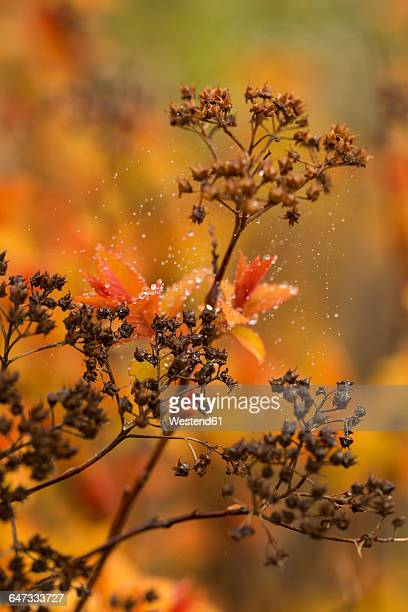 Spiraea japonica Magic Carpet, water drops, autumn, close-up