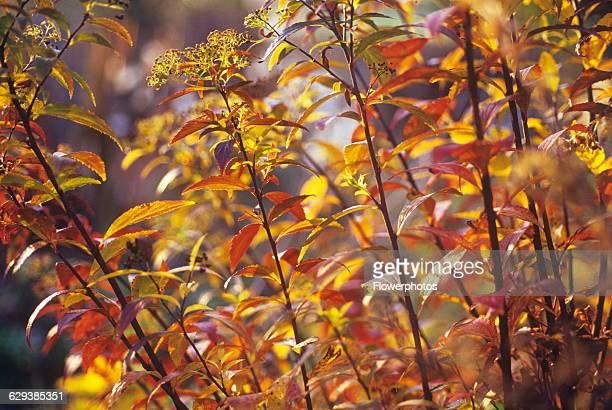 Spiraea Spiraea japonica 'Gold Flame'