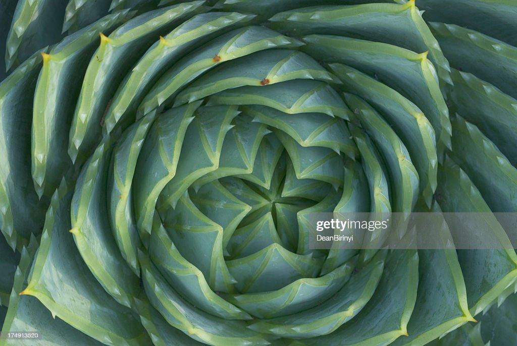 Spiral Aloe : Stock Photo