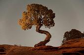 A tspiral Juniper tree at Deadhorse Point State Park near Moab Utah