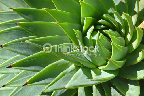 Spiral patterns of an aloe : Stock Photo